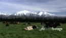 Cows by Snowy Mountain Range  1 961