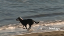Dogs Play in Surf 2878