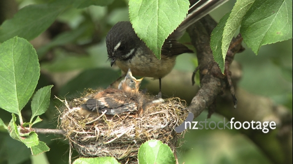 Fantail Feeds Chicks in a Nest 3 2872