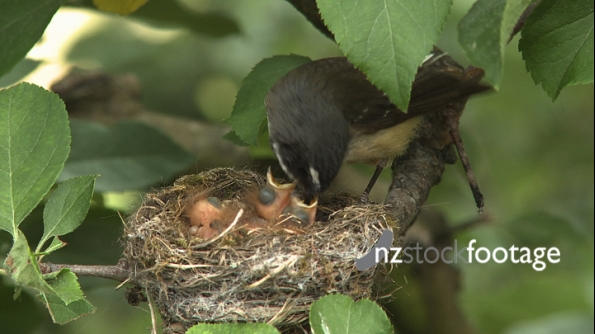 Fantail Feed in Nest 2869