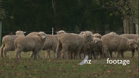 Sheep Flock With Bird 735