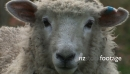 Sheep Face 737