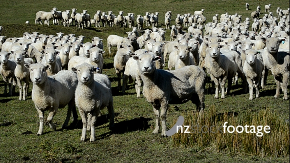 Sheep in Paddock 4011