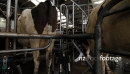 Cow Moving out of Milking Rotary 3644