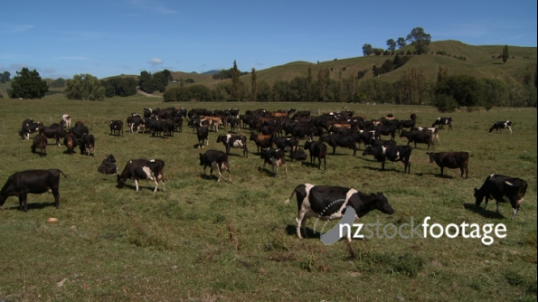 Dairy Cows Green Hills 1 1172