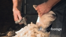 Shearing Sheep Close Up 1 2805
