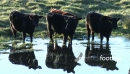 Cows Drinking 1 2813