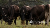 Cows Grazing in New Zealand 5 475