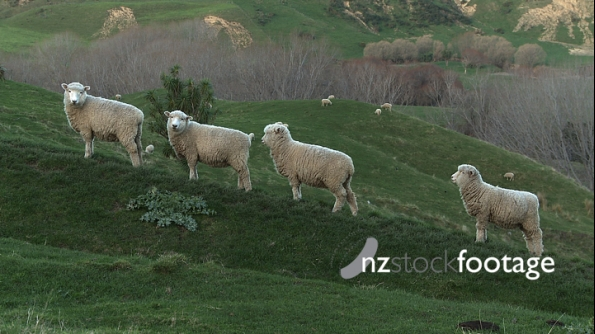 Sheep Four in A Row New Zealand 1 2836