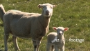 Sheep Mother & Lamb 1 2806