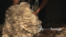 Sheep Shearing and Wool 1 2832