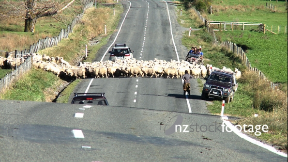 Sheep Crossing Road 1 2809