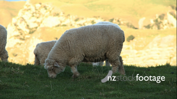 Sheep Eating on Hill 1 2828