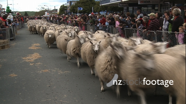 Sheep Run Through Street Rural New Zealand Town 1 3581