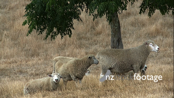 Sheep Under Shade Tree 1 609