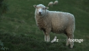Sheep Solo 1 2807