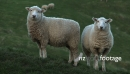 Sheep Couple 1 2811