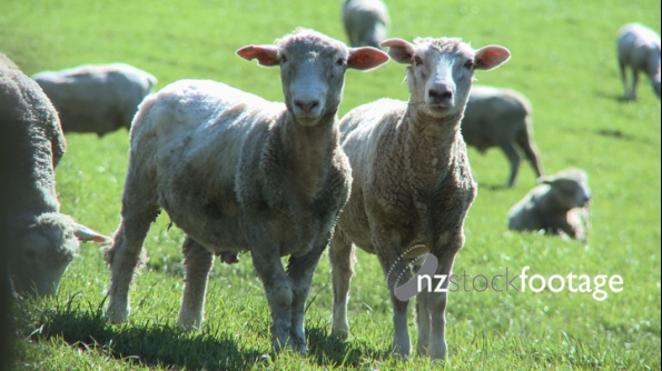 Sheep in Paddock 3 1650