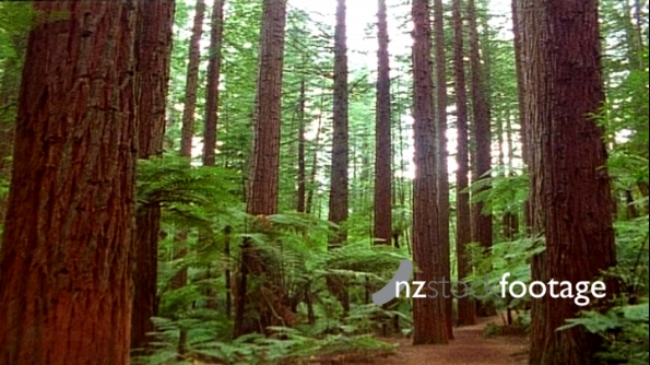 Redwood Forest New Zealand 2 500