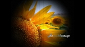 Sunflowers 1 1151