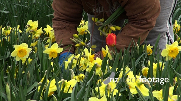 Picking Daffodils 4323