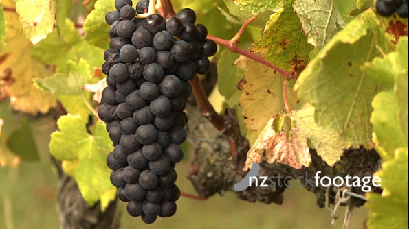 Grapes on Vine 1 571