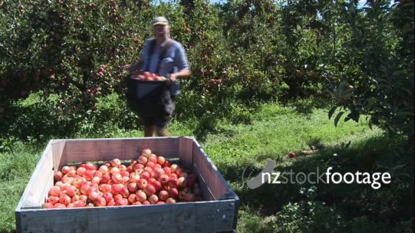 Fruit Picker Unloading 1 1045