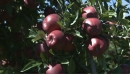 Apples Red Delicious 3 1284