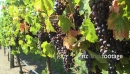 Grapes Ripe Vineyard CU 1 2798
