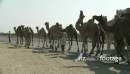Camels on road in Rajasthan 4596