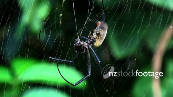 Spider Golden Orb 1 1296