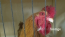 Rooster In Cage 1 24693