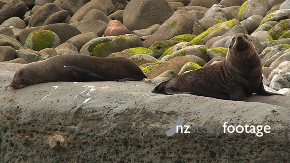 Seals Lying On Rocks New Zealand 1 3978