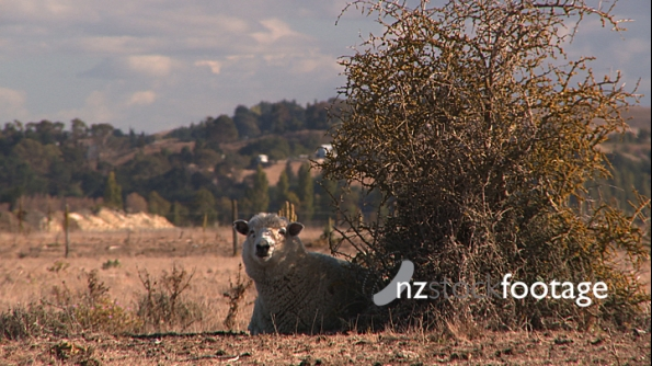 Sheep behind Bush in Dry Field 3979