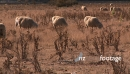 Sheep Graze in a Dry Field 3980