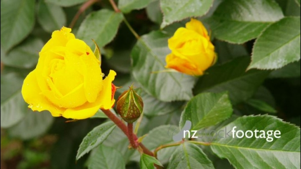 Yellow Roses Track 24608