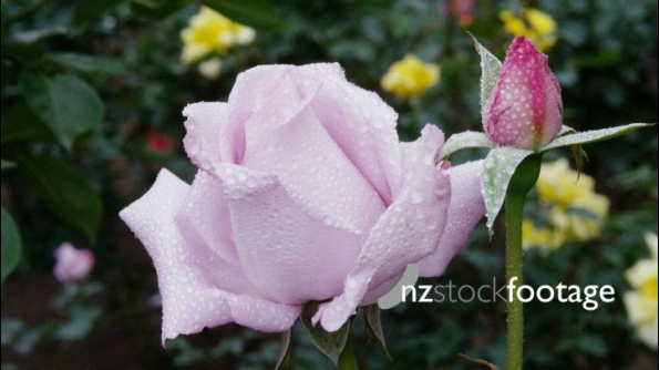 Purple Rose  24612