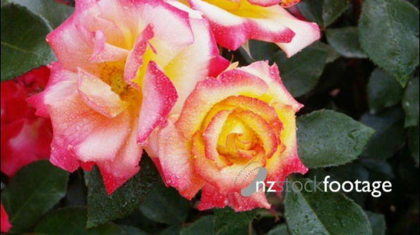 Red Tipped Rose 2 24613