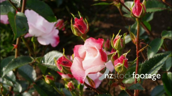 Red Tipped Rose 24614