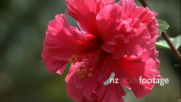 Pacific Hibiscus Flower 227