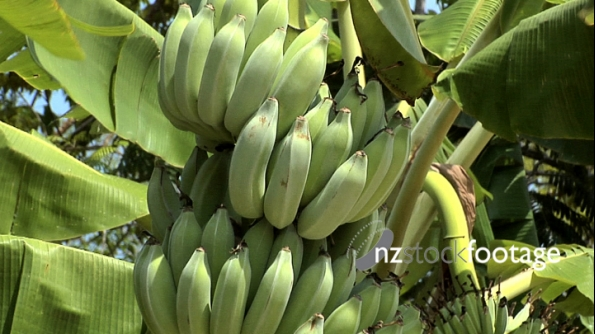 Bananas Tree 3 2298