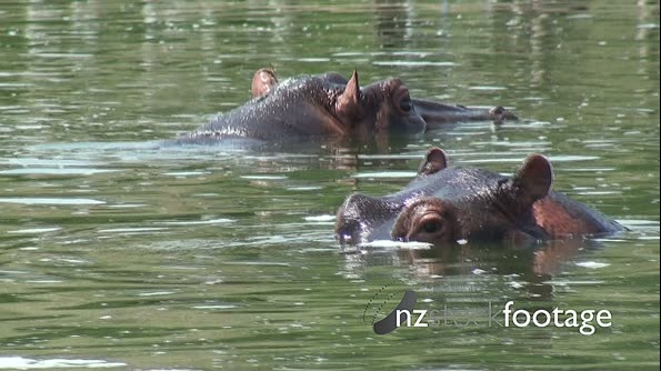 Hippos 1 1079. Click to view...