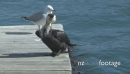 Seabirds on Jetty 1 1134