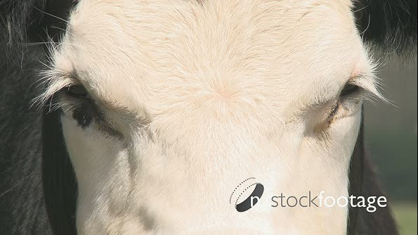 Cows Face Close Up 1 1632