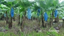 Banana Plantation In Costa Rica Growing Fruits For Global Market 17721