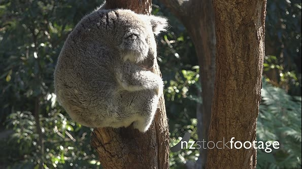 Koala in tree HD 1 18051