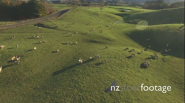 Sheep in field and ute HD 18463