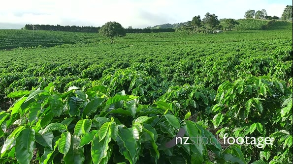Plantation Cultivation Agriculture Farming Coffee Plants Field 18534