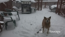 Dog Eating Snow Flakes During Storm 19042