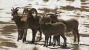 Bighorn Sheep in the Middle of Road 19150